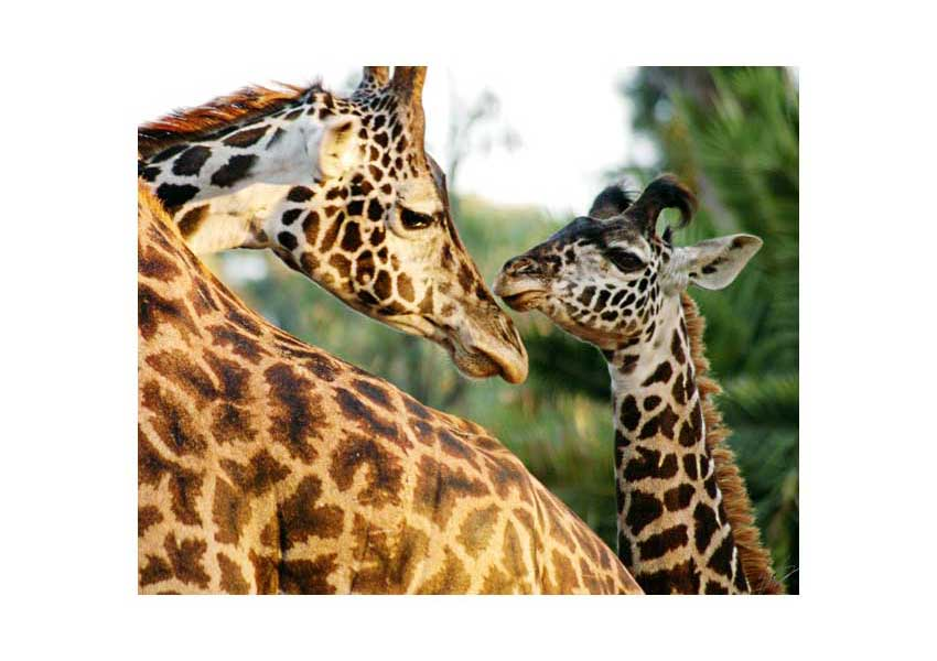 giraffe mom and baby at san diego zoo